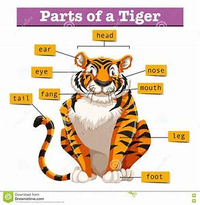 Diagrama Que Muestra Partes Del Tigre Ilustraci U00f3n Del