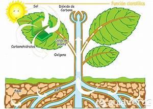 fotosintesis, en Tuinen es