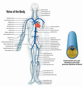 Arteries And Veins Of The Body Human Body Veins And