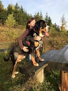 17 Best ideas about Swiss Mountain Dogs 2017 on Pinterest ...