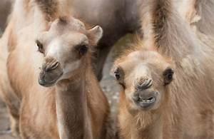 Course De Chameau : la femelle du chameau ~ Medecine-chirurgie-esthetiques.com Avis de Voitures