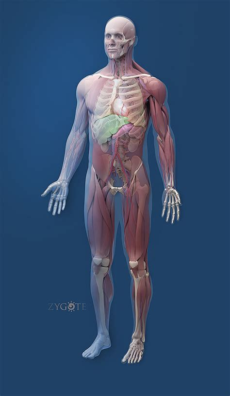 solid  human anatomy model collection