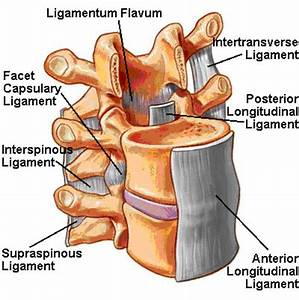 Medical Pictures Info – Ligamenta Flava