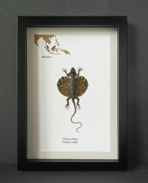 drago volante volant draco volans naturalis 201 sous cadre verre