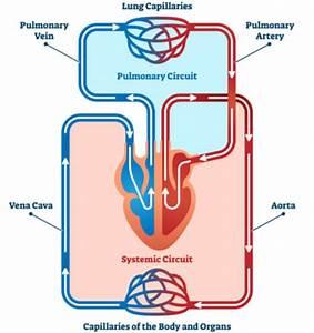 Pulmonary Vein