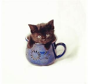 69 best images about OMG~~~ Teacup Kitties~~~ on Pinterest ...