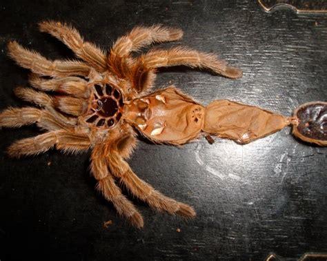 Can Tarantulas Shed Their Skin by Arachnids