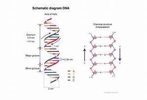 Double Stranded Dna Molecule Diagram