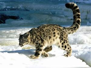 SNOW LEOPARD : A highly secretive cat | Tigers and Other ...