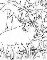 Elk Coloring Pages Forest Looking Bull Drawing Wildlife Getdrawings Colornimbus sketch template