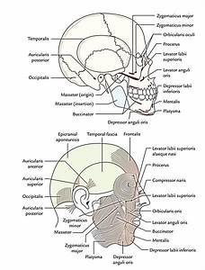 Muscles Of The Face Anatomy