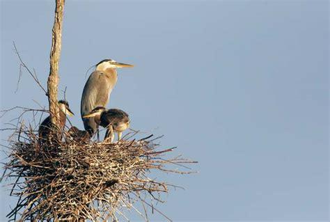 au bureau heron parc la conservation du grand hé au parc national du mont