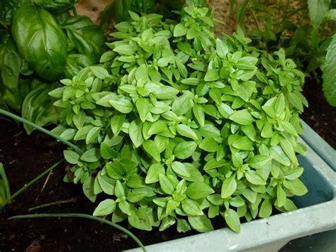 cuisine vert anis le basilic
