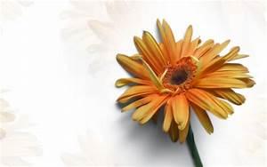 Gerber Daisy wallpaper - 1103510