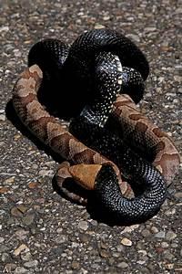 The Buckeye Botanist: Copperhead vs Eastern Black Kingsnake!