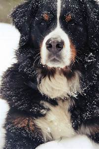Bernese Mountain Dog. Ok, so I'm a little obsessed. But ...