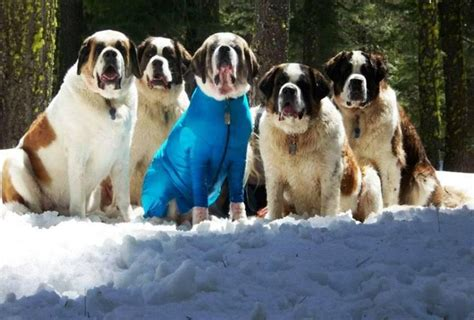 Do St Bernards Shed by 212 Best Images About Bernard On See
