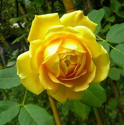 Golden Celebration Rose Flower Essence Roses Tree