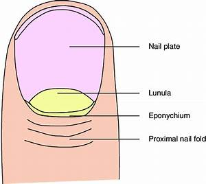 Basic Anatomy Of The Nail Unit  Dorsal View
