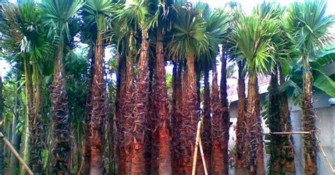 jual pohon palem sadeng jual tanaman hias murah tukang