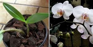 Comment Soigner Une Orchidée : voici comment faire refleurir une orchid e fan e ~ Farleysfitness.com Idées de Décoration
