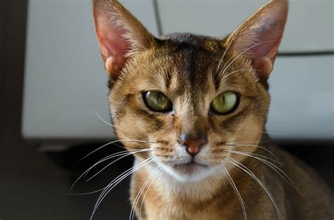how are cats cat breeds the abyssinian cat characteristics and personality dogalize