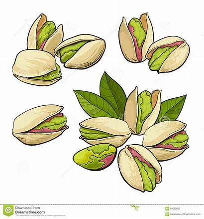Pistachio Grouped Nuts Drawn Single Pistacchi Insieme