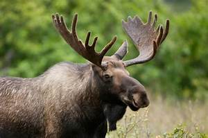 State Mammal of Alaska & Maine - Moose | Official State ...