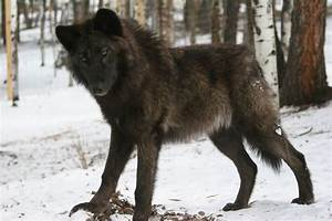 Wolf Dog mix, if they weren't illegal to have in Kansas I ...