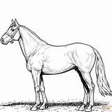 Horse Coloring Stallion Printable Horses Clipart Colouring Sheets Paper Through Categories sketch template