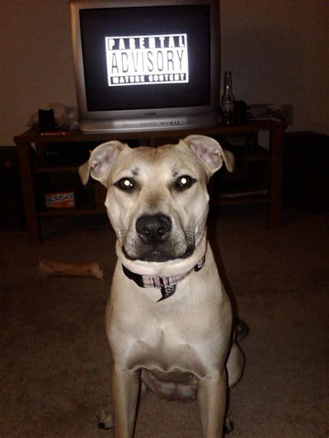 jeepredboy female pitbulls  pitbull dog forums