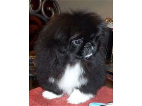 pekingese puppies  california