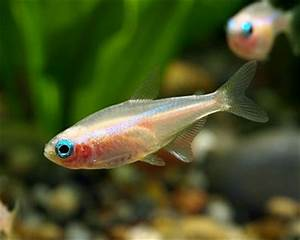 Gold Neon Tetra Aquarium Hobbyist Resource and Social