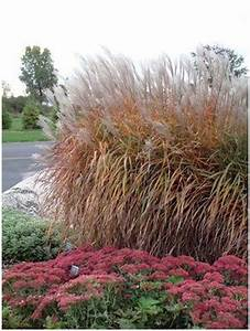 Shop Plants A to Z - Miscanthus - Bloomin Designs Nursery