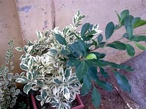 Comment Tailler Un Ficus : bouturage d 39 un ficus hawai ~ Melissatoandfro.com Idées de Décoration