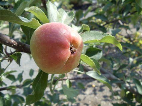 7 tips for controlling frustrating apple scab   Oregon ...