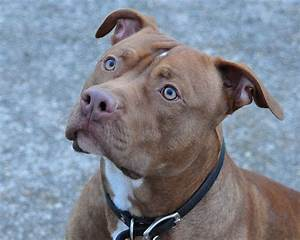 red+nose+pit+bull | Red Nose Pitbull | Flickr - Photo ...