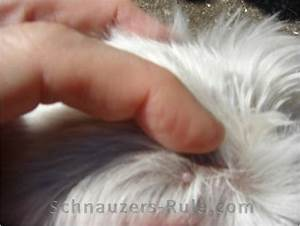 growth on dogs back inner legsgroin with rash