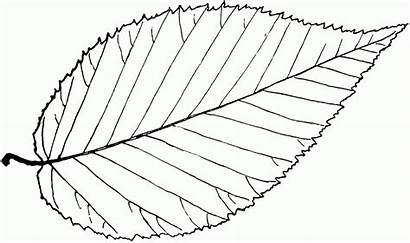 Leaf Outline Birch Clipart Tree Coloring Leaves