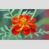 Marigold Flower Wallpaper | 2560 x 1600 jpeg 1826kB
