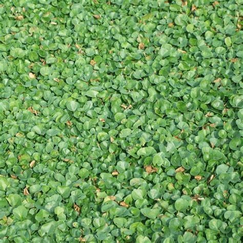 semina tappeto erboso prato erboso in rotoli dicondra bsvillage