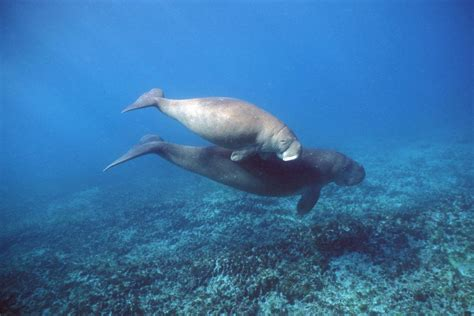 wwf bid  buy fishing licence save dugongs kick start