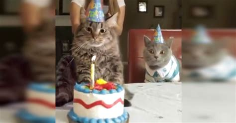 cat birthday he gives his cat a birthday cake the cat s reaction i m cracking up