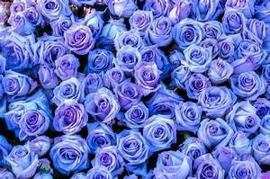 Purple Roses Background Photograph by Connie Cooper-Edwards