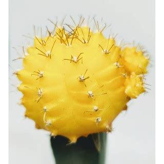 ยิมโนหัวสี (เหลือง) ขนาดประมาณ 4-5 CM ยิมโนหัวสีกราฟบนตอ ...
