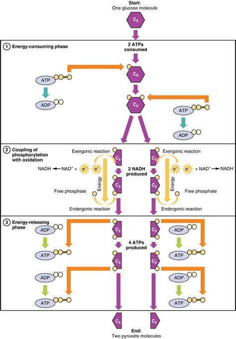 carbohydrate metabolism voer