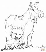 Moose Coloring Cow Calf Pages Drawing Funny Baby Antler Printable Draw Getdrawings Print sketch template