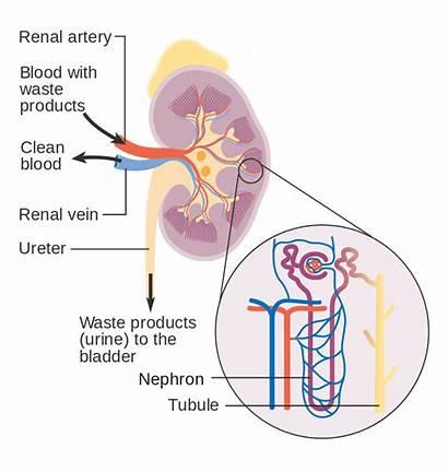 Kidneys Diagram Showing Kidney Renin Aldosterone Angiotensin