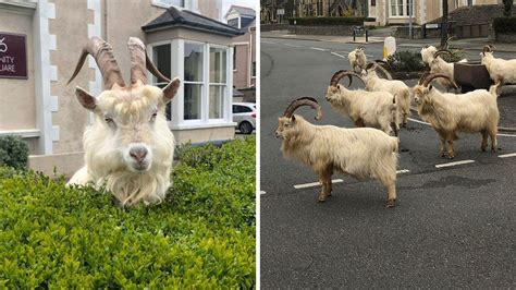 Wild goats take over deserted Welsh town during ...