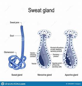 Sweat Gland Diagram
